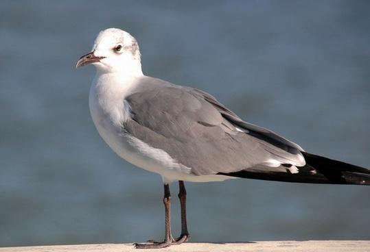 pretty seagull