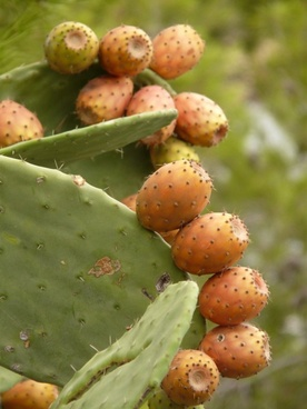 prickly pear cactus figs