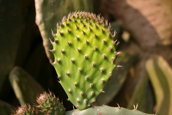 prickly pear young leaf bright green