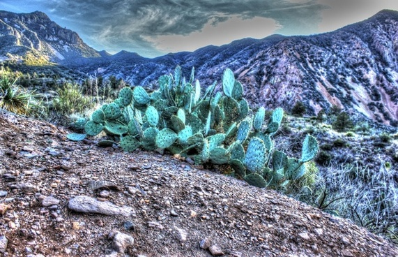 prickly pears on the mountain side at big bend national park texas