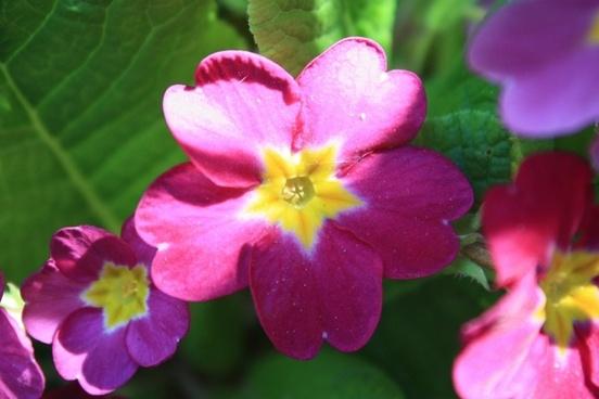 primrose flower bloom