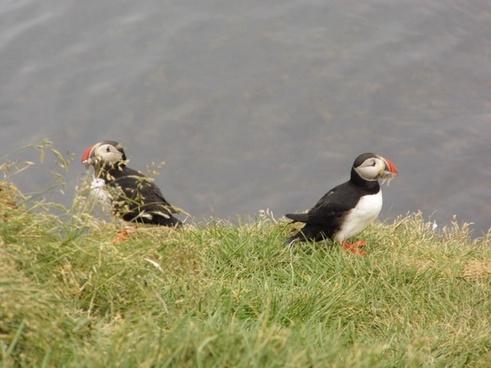puffin bird birds