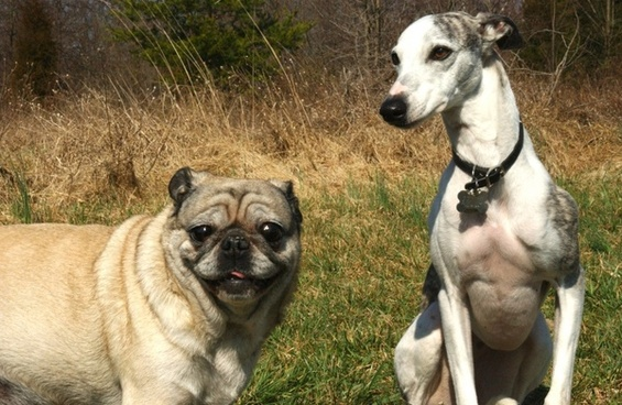pug whippet dogs