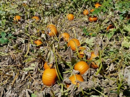 pumpkin cucurbita maxima pumpkin breeding