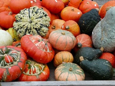 pumpkins kuebismarkt pumpkin species