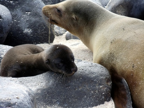 pup amp mother sea lion