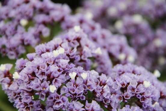 purple 038 white limonium flowers