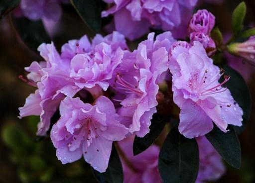 purple azaleas blossoms flowers