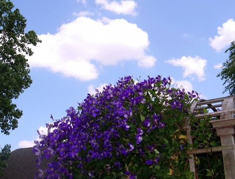 purple clematis and sky