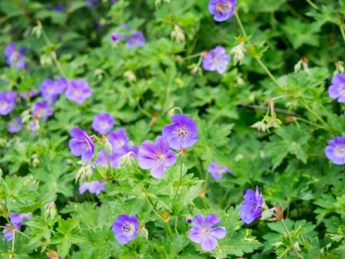 purple flowers in garden 3