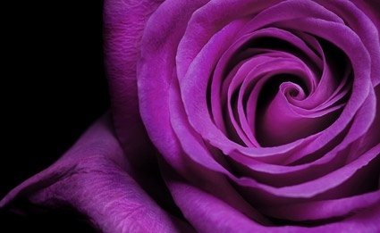 purple roses closeup picture