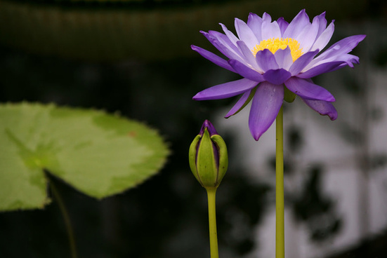 Flower Images Water Lily Free Stock Photos Download 21822 Free
