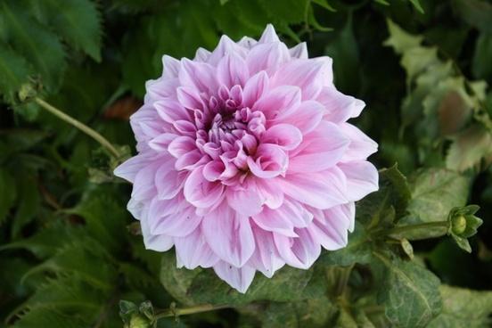 purplepink flower bloom