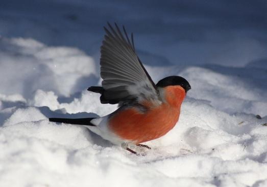 pyrrhula kittila bird winter
