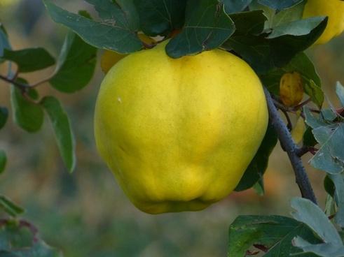 quince fruit plant