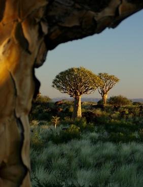 quiver tree forest aloe dichotoma tree