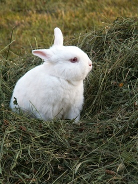 rabbit hay animals