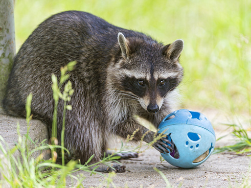 raccoon and toy