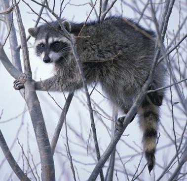 raccoon oregon tree