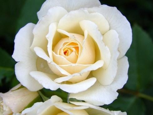 rain rose tender