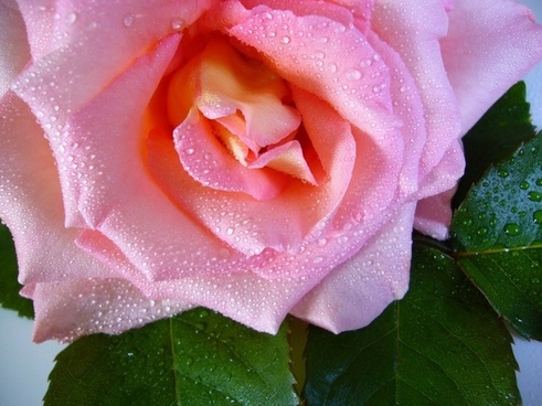 raindrop rose water drops pink
