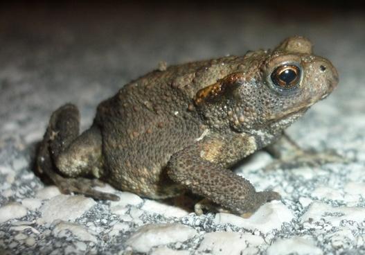 rana toad amphibian