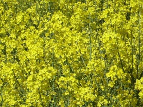 rapeseed rapsfeld flower