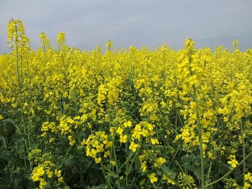 rapsfeld oilseed rape may
