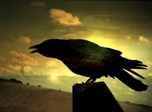 raven cormorant wings