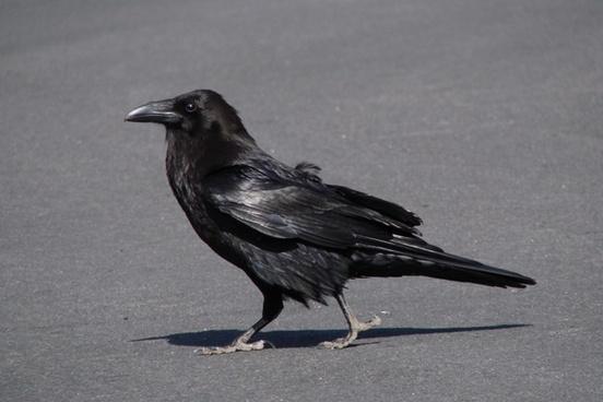 raven crow bird
