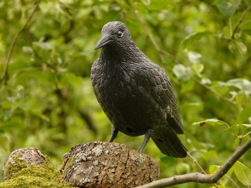 raven fig bird