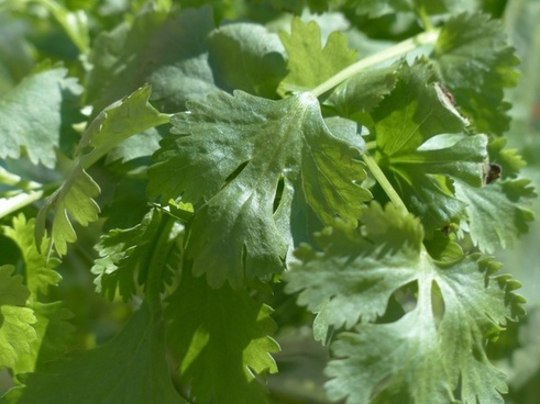 real coriander kitchen herb coriander