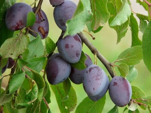 real plum plum prunus domestica