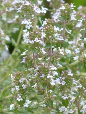 real thyme herb kitchen herb