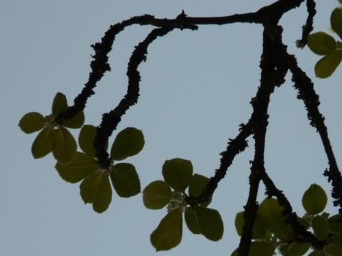 real whitebeam haw tree