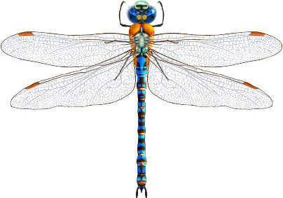 realistic dragonfly vector