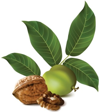 realistic green walnut walnut 02 vector