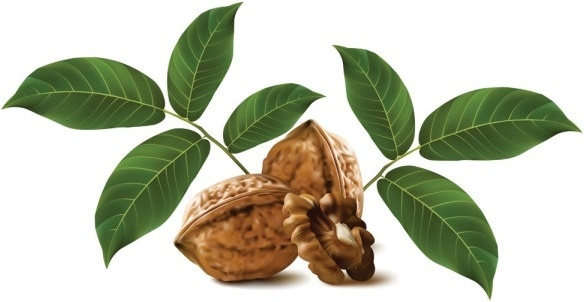 realistic green walnut walnut 03 vector