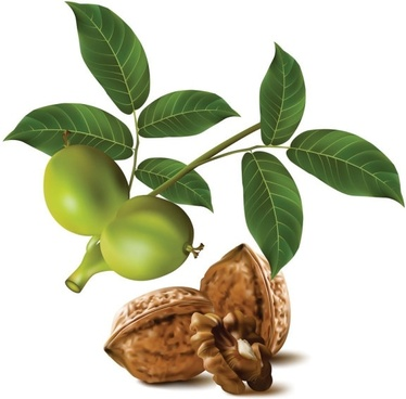 realistic green walnut walnut 04 vector