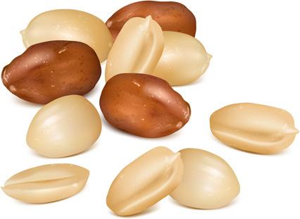 realistic peanut vector