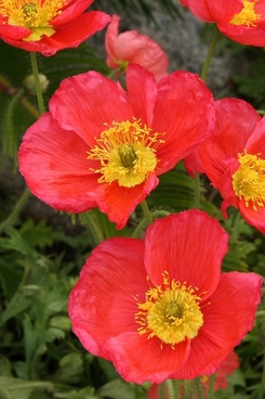 red and yellow poppy blooms