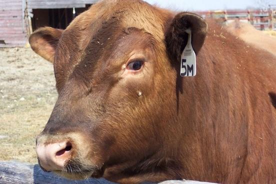 red angus bull closeup