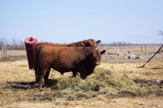 red angus bull in field