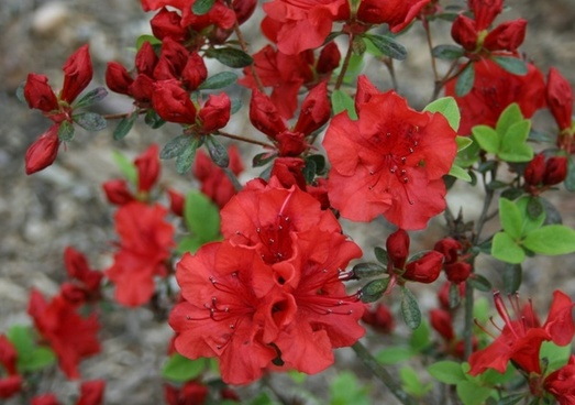 red azalea flower