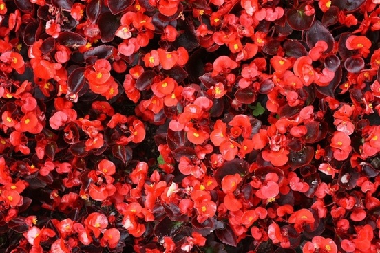 red begonia background