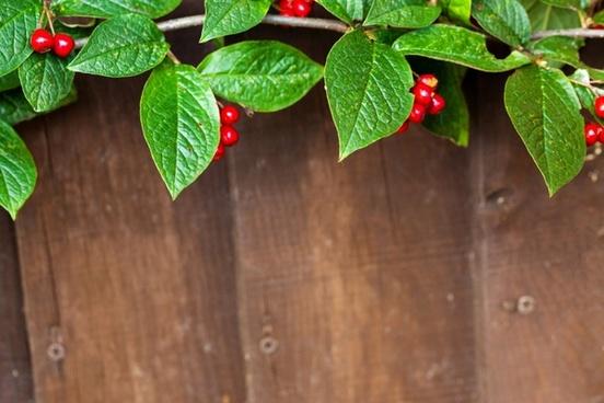 red berries border