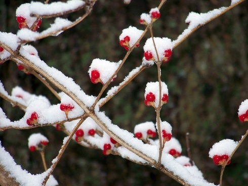 red berries in the snow 2