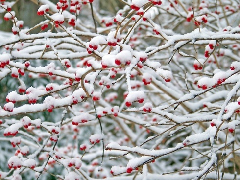 red berries in the snow 4