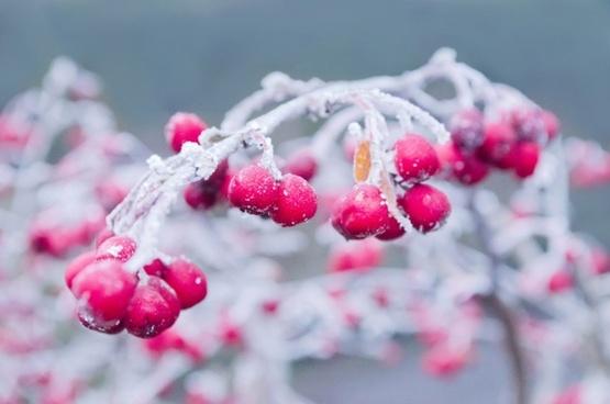 red berries in winter