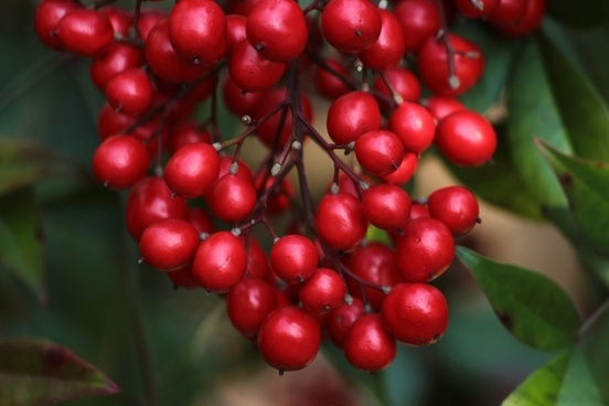 red berries nandina heavenly bamboo